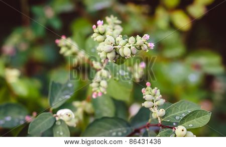 Flowers Snowberries, Symphoricarpos