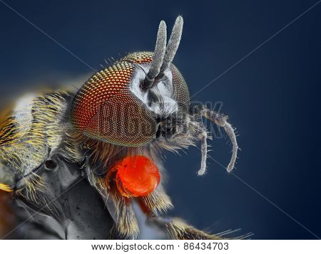 Extreme sharp and detailed study of Simuliidae fly with red parasite taken with microscope objective