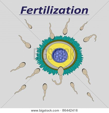 Illustration of a female egg fertilization sperm