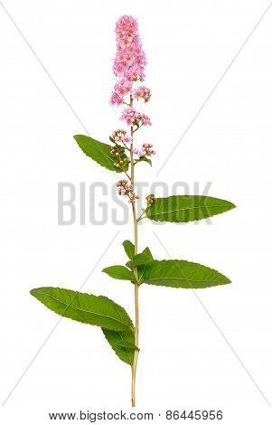Astilbe Flower