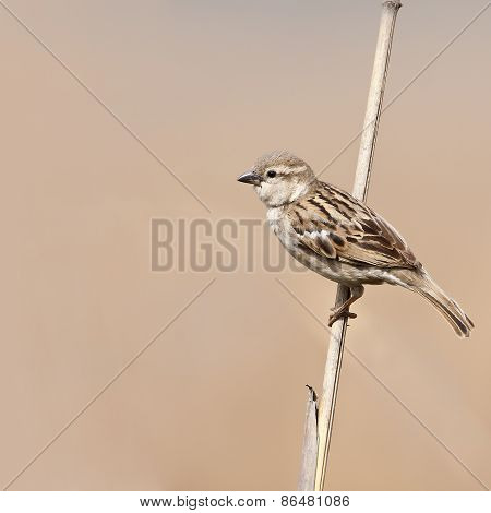 Passer domesticus indicus, house sparrow on a branch, Bardia, Nepal