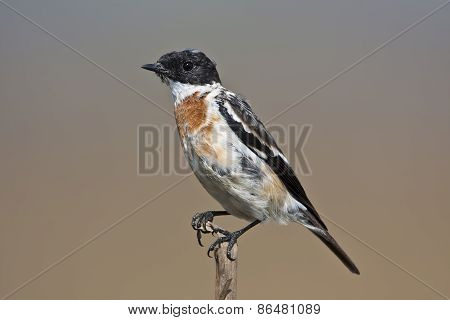 African stonechat or common stonechat on a branch, Nepal