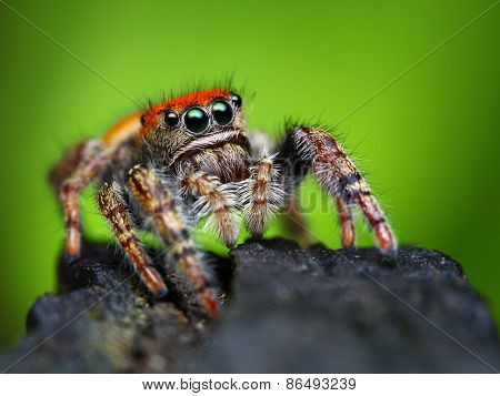 Phidippus whitmani jumping spider closeup