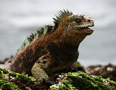 The marine iguana poses.3 / The sea iguana having opened a mouth poses on stones with seaweed. poster