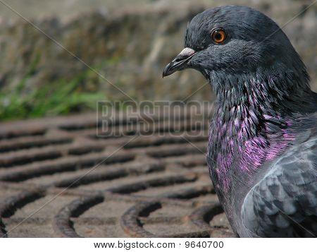 Profile of the rock dove