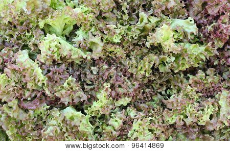 Fresh Green And Red Leaf Lettuce