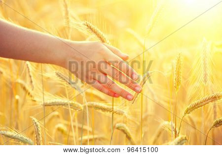 Woman hand running through wheat field. Girl's hand touching yellow wheat ears closeup. Harvest concept. Harvesting