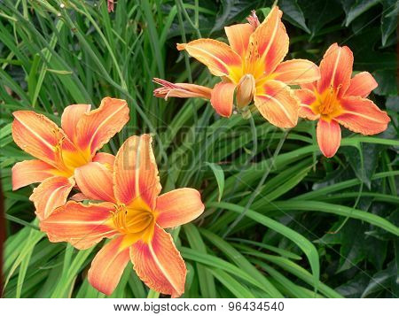 Daylily blooming