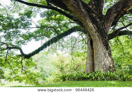Big Tree With Fresh Green Leaves