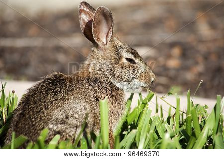 Closeup of cute cottontail bunny rabbit in the garden