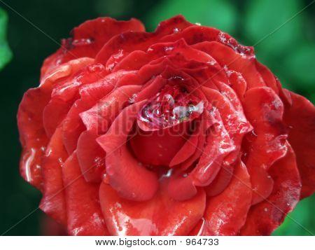 La rosa roja después de la lluvia