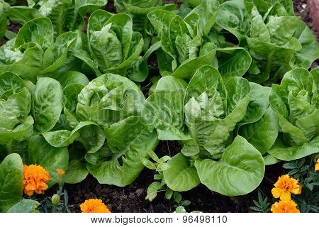 Little Gem Romaine Lettuce.