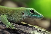 Koch's giant day gecko (Phelsuma madagascariensis kochi), also known as the Madagascar day gecko. Wildlife animal.  poster