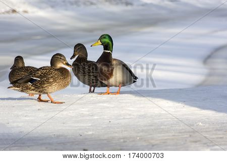 ducks standing on the shore of the lake snow winter three females one male the harem the Park