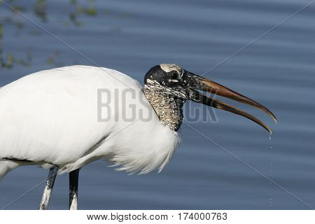 Wood Stork in a Florida pond with water dripping from beak