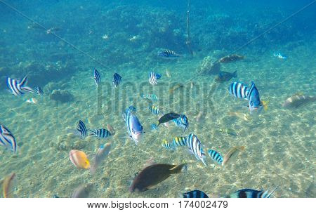 Tropical fish Dascillus by sand sea bottom. Tropical seashore life. Coral reef and fishes ecosystem. Turquoise blue seawater with colorful coral fish. Snorkeling photo of dascillus and butterflyfish.