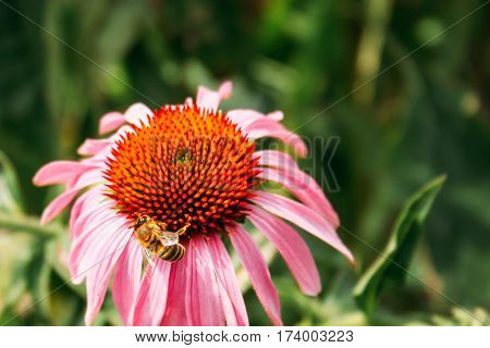 on a sunny warm day bee collects pollen from echinacea