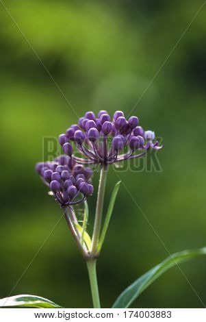 Purple milkweed buds prepare to bloom against a vivid green background.