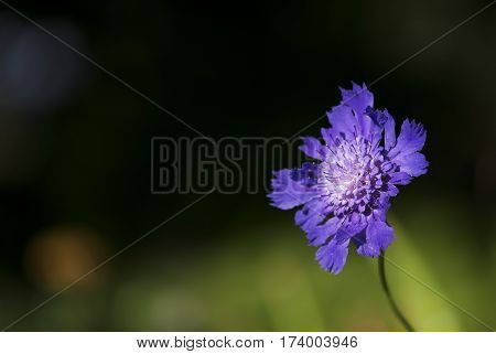 A purple pincushion flower blooms in a summer garden.