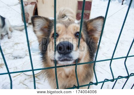 Abandoned dog in the kennel homeless dog behind bars in an animal shelter .Sad looking dog behind the fence looking out through the wire of his cage