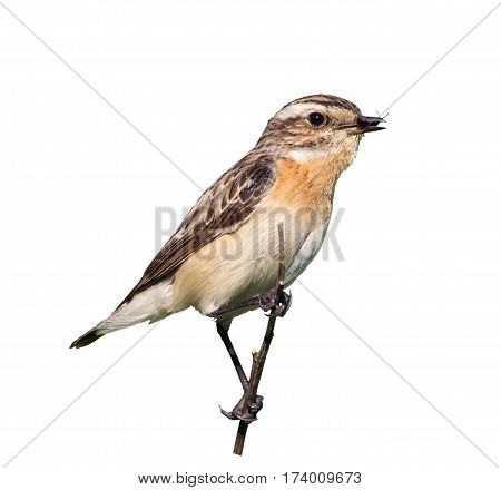 female whinchat with prey in its beak. Beetle caught for chicks. Taking care of the offspring. White background