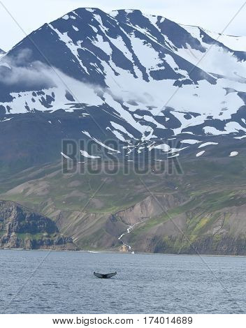 Humpback whale and mountain view in Skjálfandi in Iceland