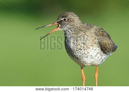 Territorial common redshank at Reykholar in Iceland