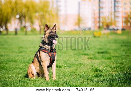 Malinois Dog Sit Outdoors In Green Summer Grass At Training. Well-raised and trained Belgian Malinois are usually active, intelligent, friendly, protective, alert and hard-working.
