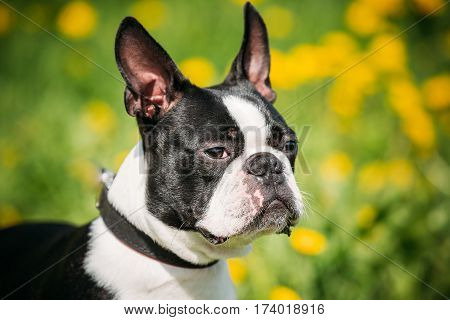 Close Up Portrait Of Funny Young Boston Bull Terrier Dog Outdoor In Green Spring Meadow With Yellow Flowers. Playful Pet Outdoors.