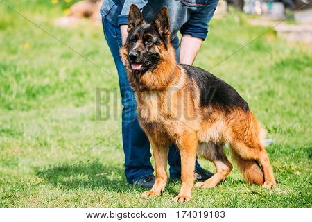German Shepherd Dog Standing In Green Grass Near Owner During Training. Summer Season. Training Of Purebred Adult Alsatian Wolf Dog
