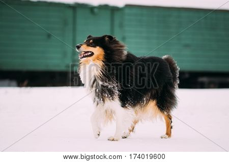 Funny Young Shetland Sheepdog, Sheltie, Collie Dog Playing And Running Outdoor In Snow, Winter Season. Playful Pet Outdoors.