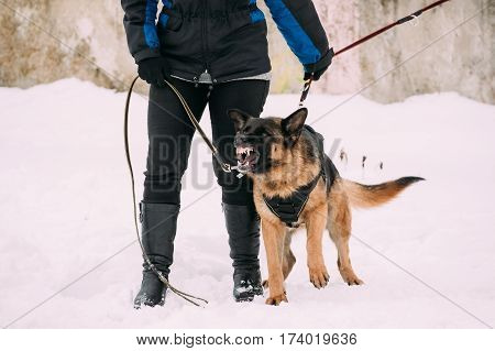Training Of Purebred German Shepherd Adult Dog Or Alsatian Wolf Dog. Attack And Defence. Winter Season