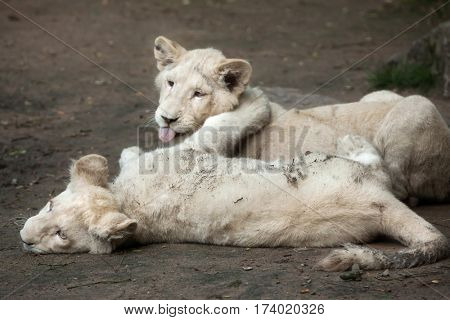 Two newborn white lion cubs. The white lions were a colour mutation of the Transvaal lion (Panthera leo krugeri), also known as the Southeast African or Kalahari lion.