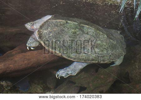 Giant Asian pond turtle (Heosemys grandis).