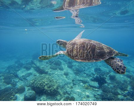 Tropical lagoon with sea animals - corals fishes and green turtle. Sea turtle swimming underwater. Exotic island seashore nature. Undersea landscape with sea bottom and tortoise. Lovely marine animal