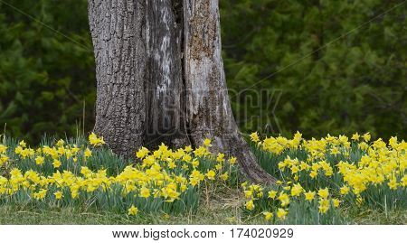 Some lovely daffodils decorate the base of an old tree in the Cades Cove section of the Smoky Mountains. Out of focus areas above the daffodils provide generous copy space for your copy.
