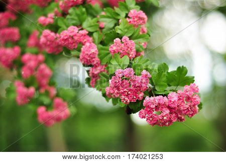 Pink Hawthorn Flowers. Blooming Haw Branches. Spring Macro Photo