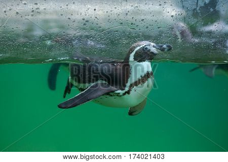 Humboldt penguin (Spheniscus humboldti), also known as the Chilean penguin.
