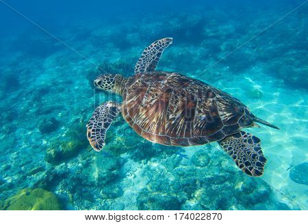 Sea turtle closeup undersea photo. Green turtle in sea water. Ecosystem of tropical seashore. Snorkeling with turtle image. Underwater landscape with sea animal. Green sea tortoise in blue water