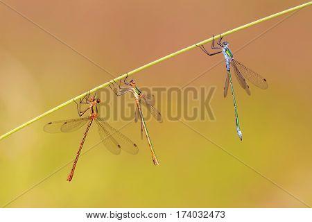 Three Dragonflies Hanging At A Grass Stalk