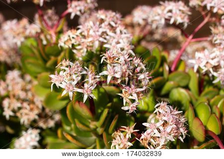 Money tree with pink flowers. Crassula. Stonecrops succulent