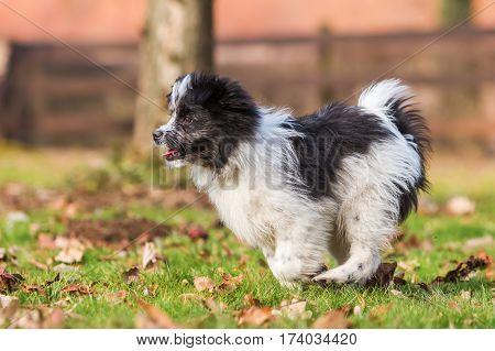 Elo Puppy Runs On The Meadow
