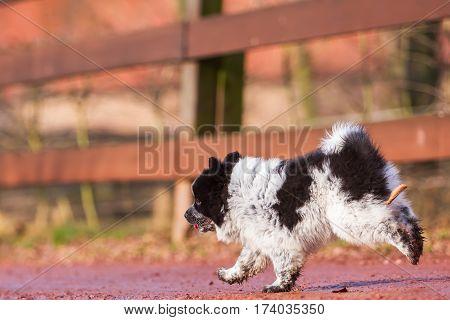 Cute Elo Puppy Runs On A Country Path