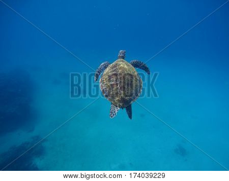 Sea turtle diving in deep blue seashore. Rare marine species of tropical sea. Exotic oceanic animal. Green tortoise above deep seashore. Snorkeling with sea turtle photo. Seawater wild life background