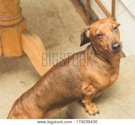Dachsund Standing On A Step Outside