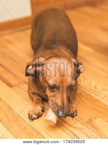 Brown tan and white dauchsund dog playing with a wine cork.