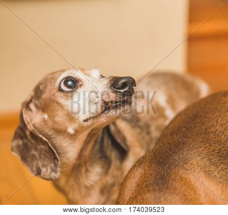 Tan and brown old dachshund with a snarled lip.