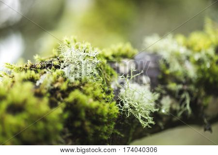 Green moss on a tree branch in a foggy forest park.