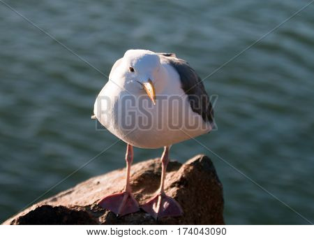 Seagull on Morro Bay breakwater rocks on the California Central Coast U S A
