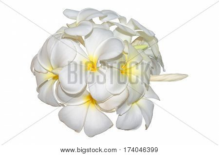 Frangipani plumeria tropical flowers isolated on white. Clipping path